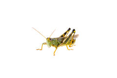 Grasshopper Stock Image