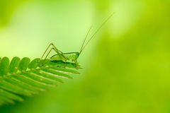 Grasshopper. On a leaf with green background Stock Photography
