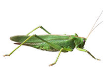 GRASSHOPPER. FAMILY OF THE LONG FEELER FRIGHTS; Ensifera stock photography
