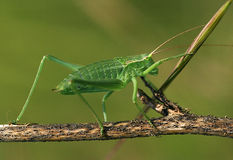 Free Grasshopper Royalty Free Stock Photography - 1360927