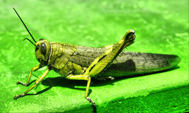 Grasshopper. This is a photo of green grasshopper on green background royalty free stock image