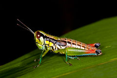 Grasshopper. On leaf and dark background image Royalty Free Stock Photography