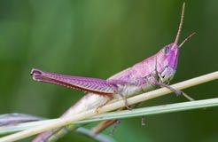 Free Grasshopper Royalty Free Stock Image - 15722056