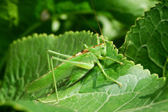 Grasshopper. Green grasshopper on the leaf royalty free stock images