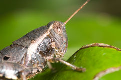 Grasshopper. Close up on leaf Royalty Free Stock Image