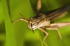 Grasshopper Royalty Free Stock Photos