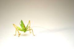 Grasshopper. A green grasshopper stock photo