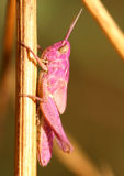 Grasshopper. Picture of a pink grasshopper insect, Spain Royalty Free Stock Photography
