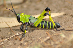 Grasshopper. A green and black grasshopper sitting on the ground in a game park in South Africa Stock Image