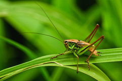 Free Grasshopper Royalty Free Stock Image - 17725376