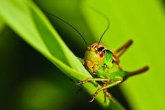 Free Grasshopper Royalty Free Stock Photography - 17725397