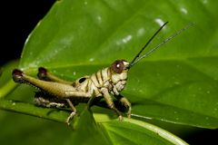 Grasshopper. Ecuador Kapawi jungle area Royalty Free Stock Image