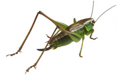 Grasshopper. Green grasshopper in white background Stock Photography