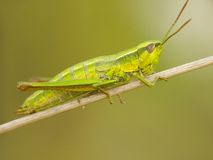 Grasshopper 2 Stock Photos
