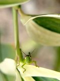 Grasshopper 2 Stock Photography