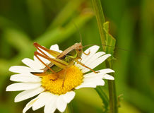 Free Grasshopper Royalty Free Stock Photos - 20083208