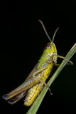 Grasshopper. Sitting on a blade of grass Stock Photography