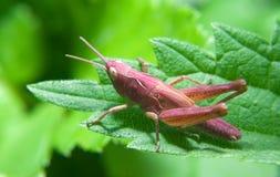 Free Grasshopper Royalty Free Stock Image - 20366806