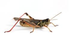 Grasshopper Stock Images