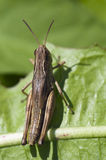 Grasshopper. On the leaf in the sunshine Stock Photos