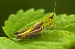 Grasshopper. On the leaf of the plant Stock Photo