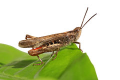 Grasshopper. Sitting on green leaf Royalty Free Stock Image
