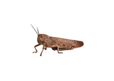 Free Grasshopper Royalty Free Stock Image - 21637546