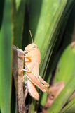The grasshopper. Sitting on the palm in Montenegro Stock Photos