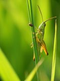Grasshopper. On Culm of Grass Royalty Free Stock Images