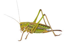 Grasshopper 23 Royalty Free Stock Photos