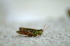 Grasshopper. A single green grasshopper on grey background Royalty Free Stock Photography