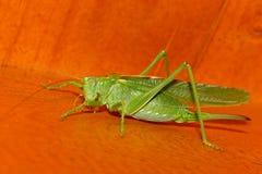 A grasshopper Royalty Free Stock Photos