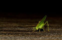 A grasshopper. A close-up of a grasshopper Royalty Free Stock Photography