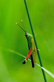 Grasshopper. Green Grasshopper on green background Stock Image
