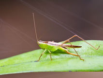 Grasshopper. Stock Photography