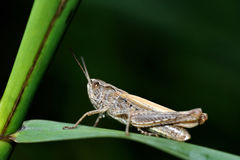 Grasshopper. Closeup of grasshopper resting on leaf Stock Images