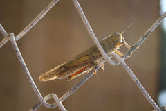 Grasshopper Στοκ Εικόνα
