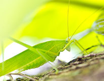 Grasshopper. Royalty Free Stock Photo