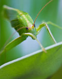 Grasshopper. Stock Photo