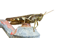 Grasshopper. Royalty Free Stock Image
