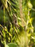 Grasshopper. Hiding in the grass Royalty Free Stock Images