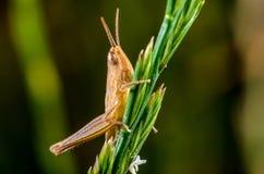 Grasshopper Royalty Free Stock Photo