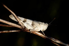 Grasshopper. African grasshopper resting on branch Royalty Free Stock Photos