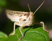 Grasshopper. A grasshopper on a leaf Royalty Free Stock Images