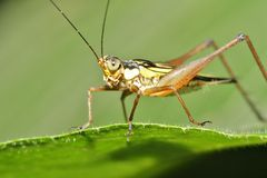 Free Grasshopper Stock Images - 28304534