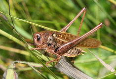 Free Grasshopper Stock Photos - 2869853