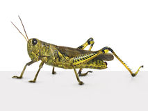 Grasshopper. (extracted from its natural setting Royalty Free Stock Images