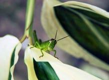 Grasshopper 3 Royalty Free Stock Image