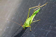 Grasshopper Stock Photos