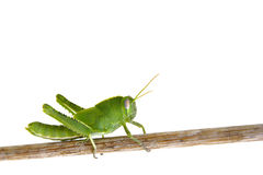 Free Grasshopper Royalty Free Stock Photos - 3221188